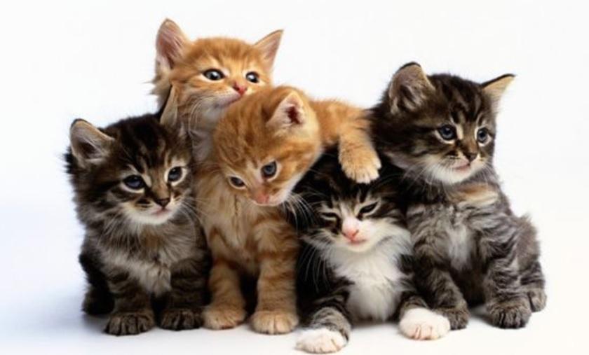 La Festa nazionale del gatto