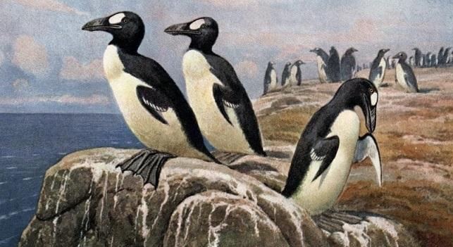 Animali estinti: l'Alca Impenne