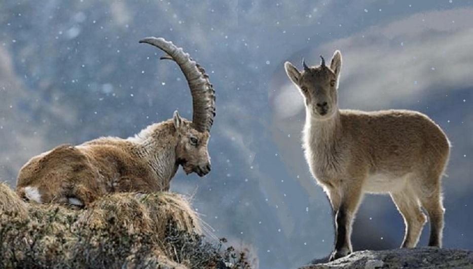 Animali estinti: lo Stambecco dei Pirenei