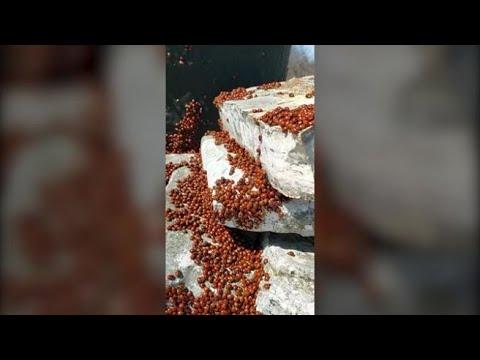 Migliaia di coccinelle invadono un monte in Molise: è il «risveglio rosso»
